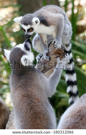 Two Lemur primates greeting and smelling each other - stock photo