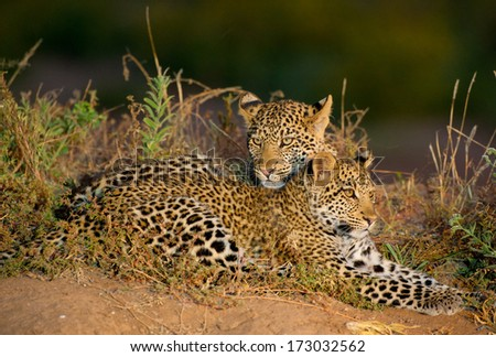 Two leopard cubs lying lovingly together
