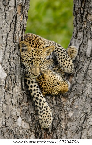 Two Leopard cubs playing in a tree - stock photo