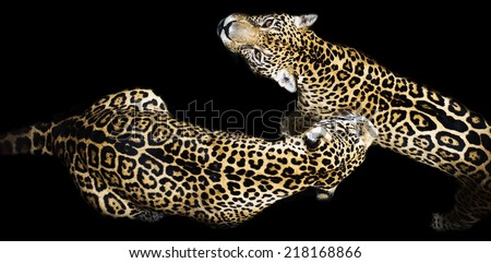 Two leopard in love - stock photo