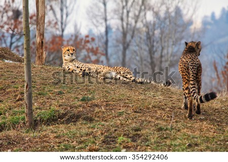 Two Leopards in the wild on the island of Sri Lanka. - stock photo