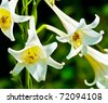 Two lily flowers (Lilium leucanthum) - stock photo