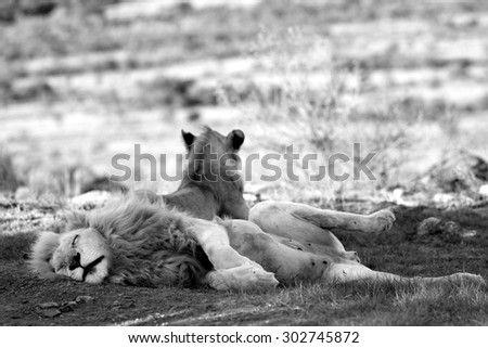 Two lion. A lioness and a big white male in this black and white image from South Africa - stock photo