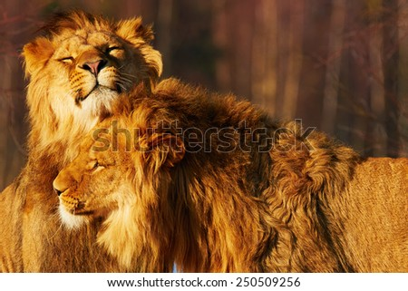 Two lion brothers close together in a forest