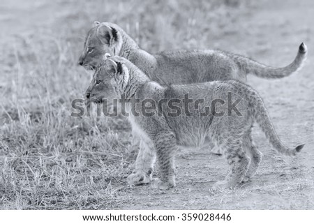 Two lion cubs exploring to bush in artistic convesion - stock photo