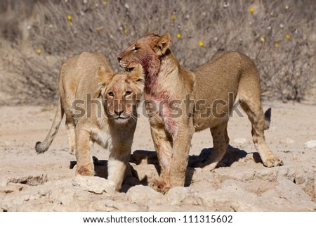 Two lion cubs waiting at a waterhole - stock photo