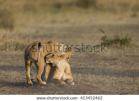 Two lionesses play with each other. National Park. Kenya. Tanzania. Masai Mara. Serengeti. An excellent illustration.