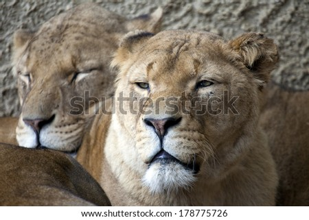 Two lionesses resting in the shade