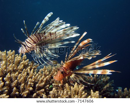 Two lionfish amonst coral - stock photo