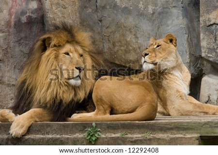 Two lions - stock photo