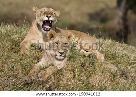 Two lions lying on grass
