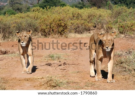 two lions walking/prowling along the roadway inside Samburu national park/reserve, Kenya - stock photo