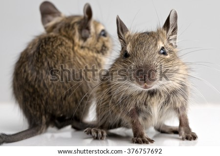two little baby degu mice closeup front view on neutral background - stock photo