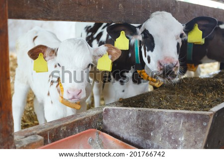two little calves in a barn