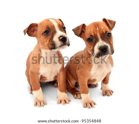 Two little dogs puppies - stock photo
