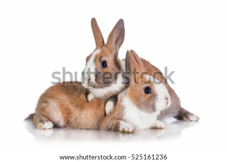 Two little dwarf rabbits isolated on white