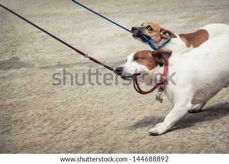 Two little funny dog. Breed dogs - Jack Russell Terriers, cute dog on a leash walks in the park.