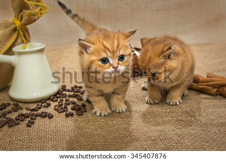 Two little kittens Golden color and ingredients for making coffee - stock photo