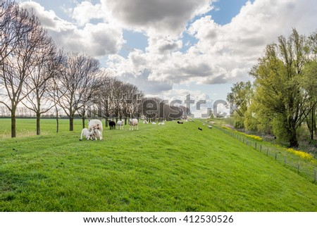 Two little lambs drinking milk from their mother sheep on a Dutch dike. Other sheep watching curiously. It is a cloudy day at the beginning of the spring season. - stock photo