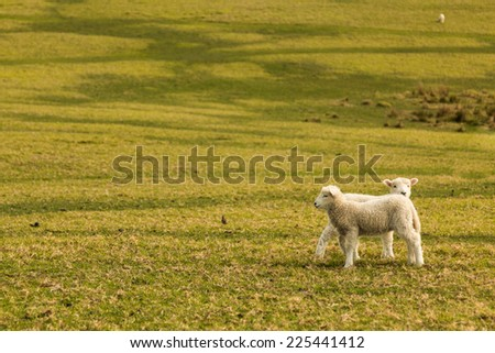 two little lambs in the grass