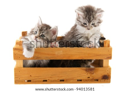 Two little Maine Coon breed kittens in wooden crate