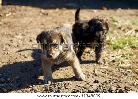 two little mongrel puppies - stock photo