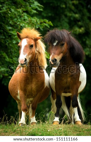 Two little painted ponies standing close - stock photo