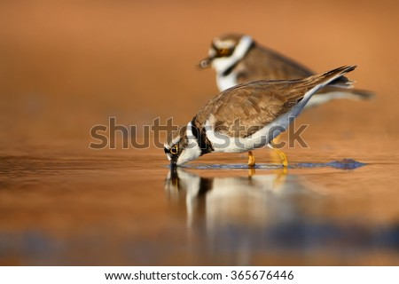 Two Little Ringed Plovers in the wetland at the wintersite. - stock photo