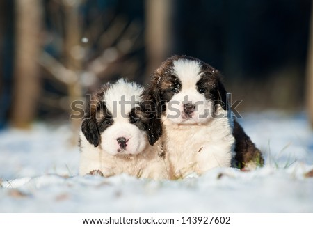 Two little saint bernard puppies sitting in winter - stock photo