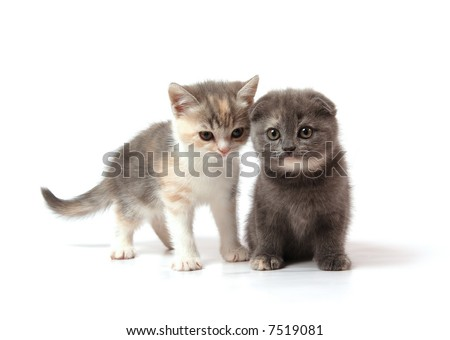 two little scottish-fold kittens - blue-cream and three-colored - stock photo