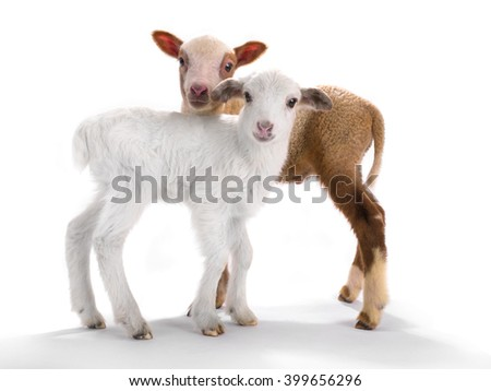 two little sheep on a white background - stock photo