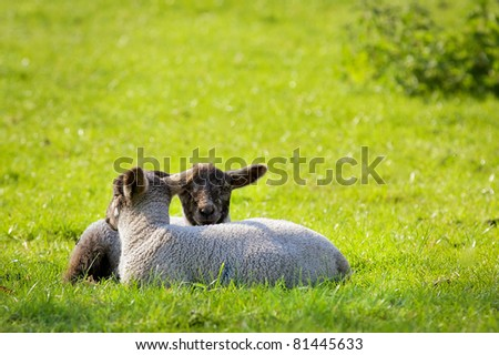 Two little spring lambs - stock photo