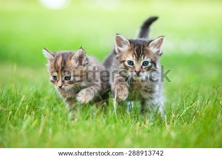 Two little tabby kittens walking outdoors - stock photo