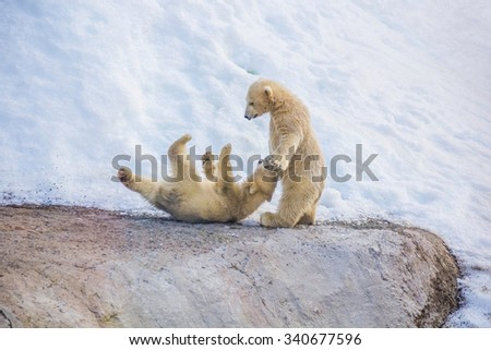 Two little white bears playing in the snow - stock photo