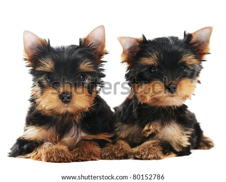 Two little Yorkshire Terrier (3 month) puppies dog isolated over white background - stock photo