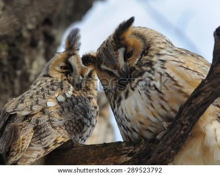 Two Long-eared Owls - stock photo