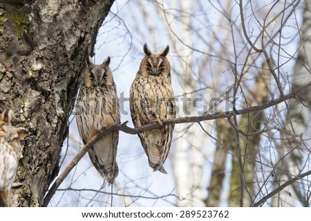 Two Long-Eared Owls on Birch Tree - stock photo