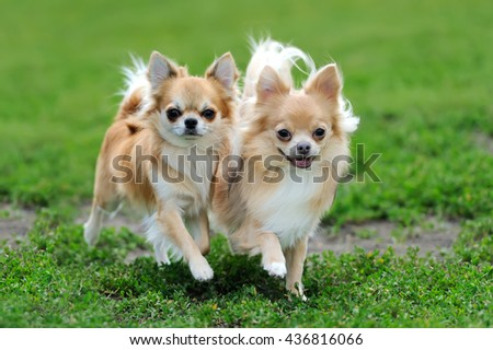 Two Longhair Chihuahua  dog in green summer grass