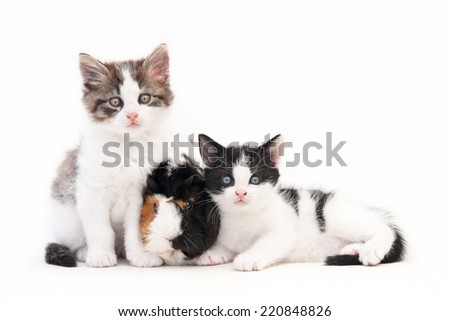 Two looking kittens and a guinea pig, isolated on white - stock photo