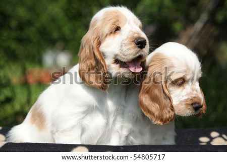 Two looking puppies of english cocker spaniel