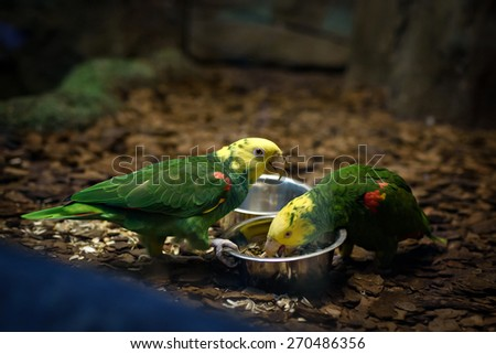 Two Lorikeet parrots eating in parallel in zoo - stock photo