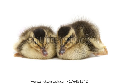 two lovely Baby Ducks isolated over white background