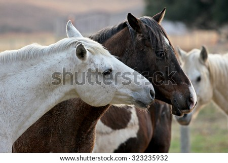 Two loving horses at a horse farm. One white, the other brown. - stock photo