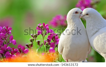 two loving white doves and beautiful purple flowers - stock photo