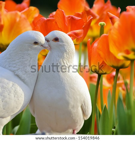 two loving white doves and beautiful tulip flowers - stock photo