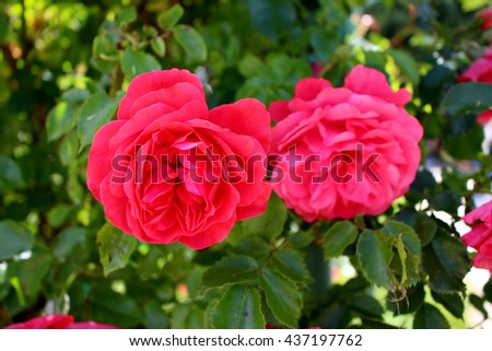 Two lush red roses - stock photo