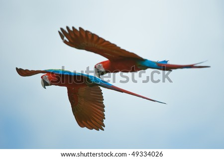 two macaws flying in the sky - stock photo