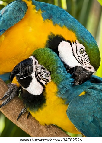 Two macaws in vivid colors, looking at the camera. Vertical format - stock photo