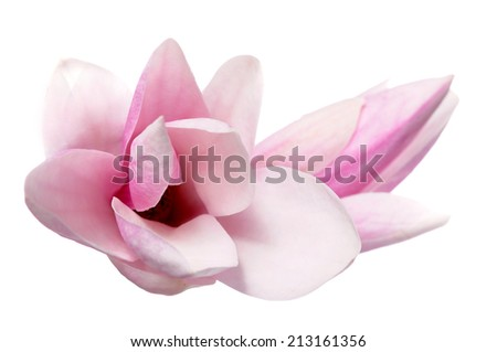 two magnolia flowers isolated on white background