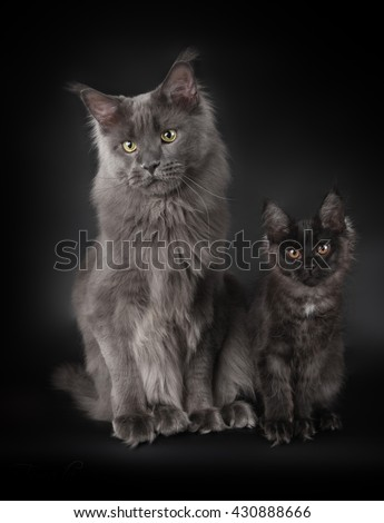 Two maine coons sitting on black background - stock photo